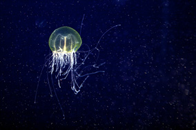 Jellyfish Time
